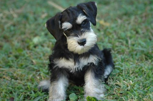 Cute Dogs: Miniature Schnauzer Puppies