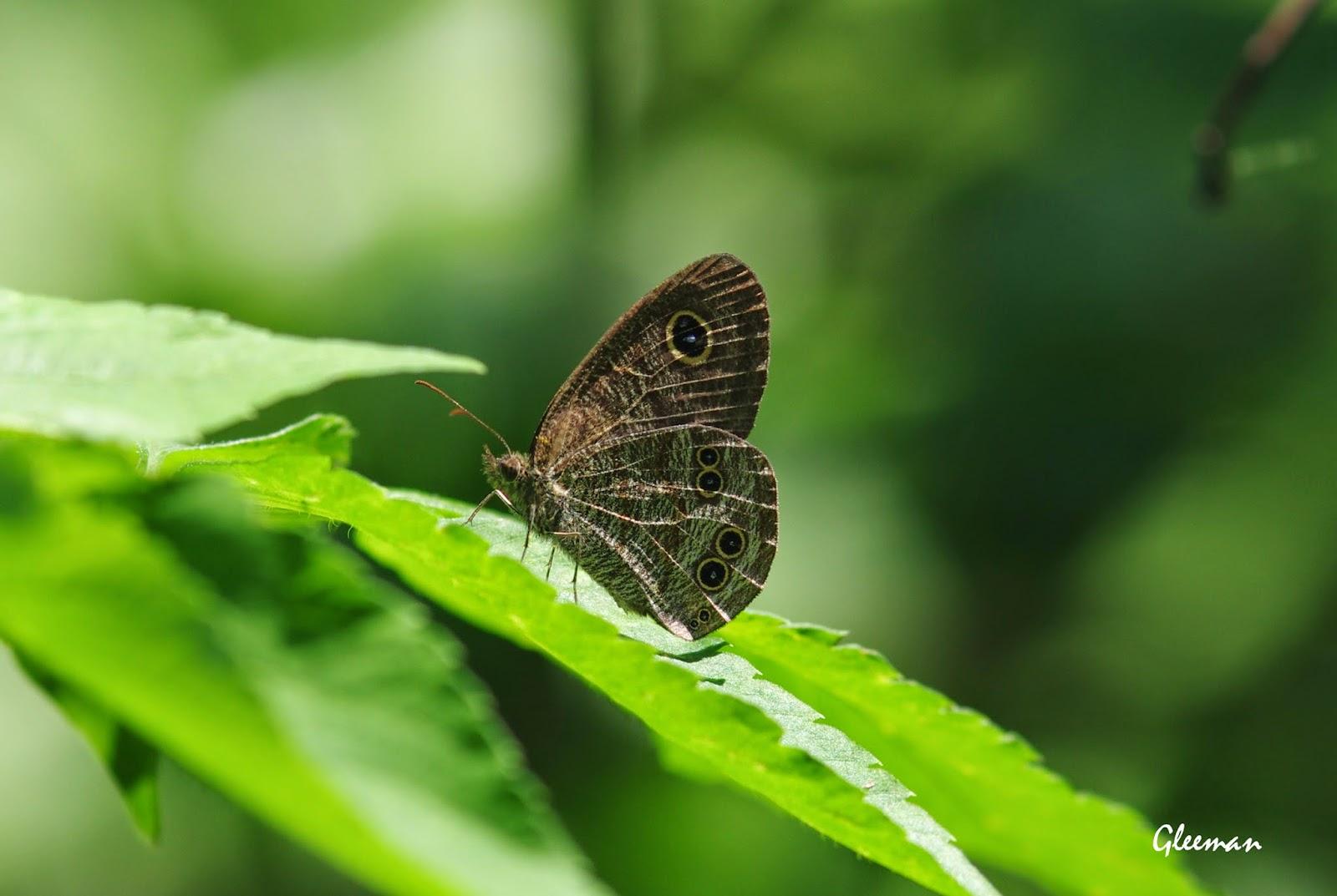 小波眼蝶於雞南山。