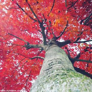 Árbol con follaje rojo en otoño