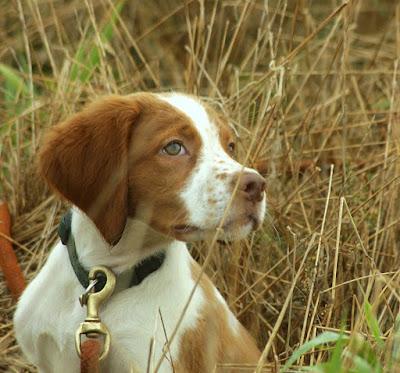 Bird dog pup looking up