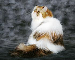 Gambar Kucing Persia Lucu 10001