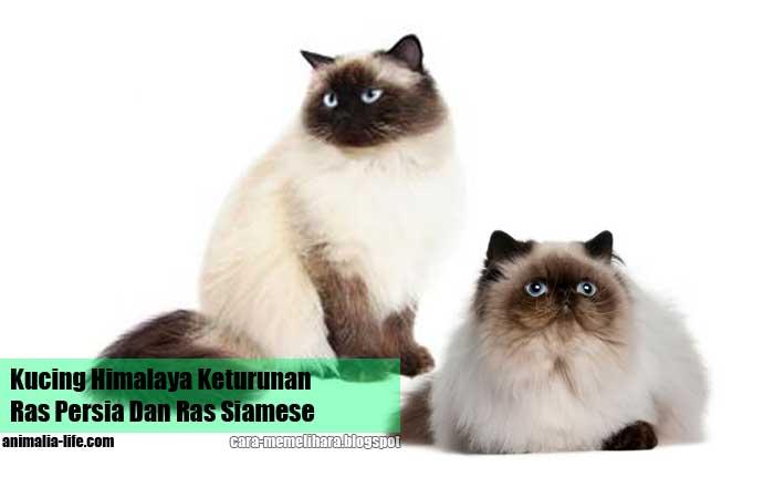 Kucing Himalaya Keturunan Ras Persia Dan Ras Siamese