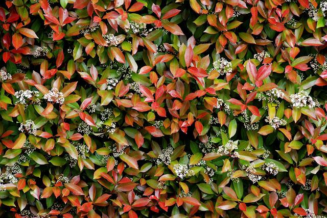 Il mondo in un giardino tutti pazzi per la siepe di for Siepe sempreverde