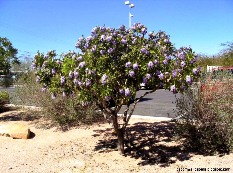 Xtremehorticulture of the Desert Texas Mountain Laurel a Good