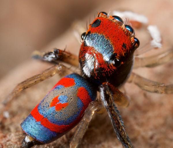 Maratus volans spider