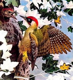 Pájaro carpintero dando de comer a su cria