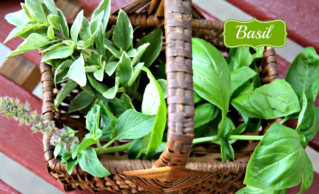 Italian basil, sweet basil, growing basil