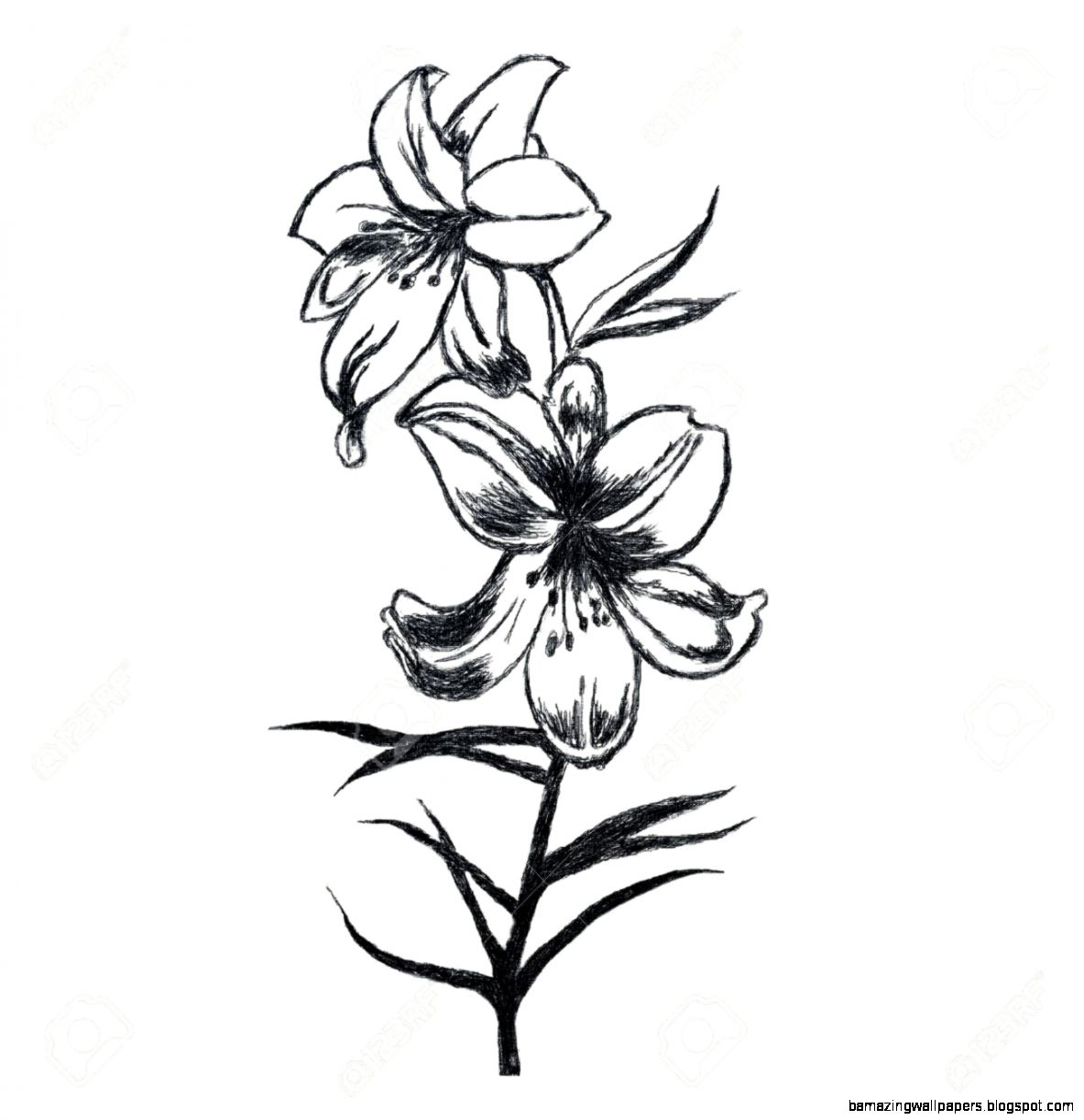 Lily Flower Black And White Drawing Amazing Wallpapers