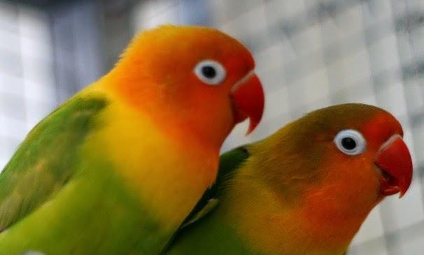 burung lovebird dan permasalahannya