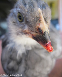 Chick with broken beak tip