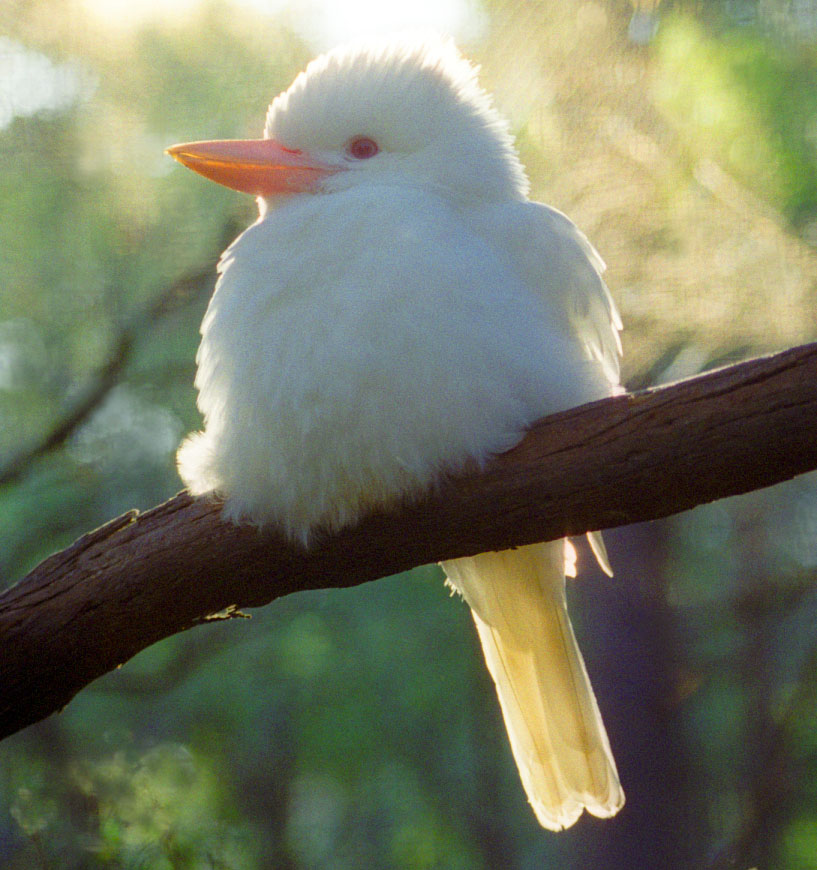 A Venezuelan Wacky Guy Living His Australian Dream Meet The Kookaburra