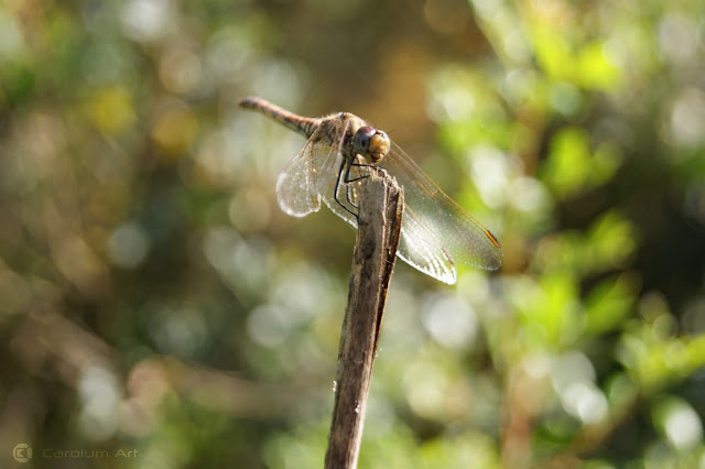 libellulidae-odonata-macro-fotografia-carolum-art
