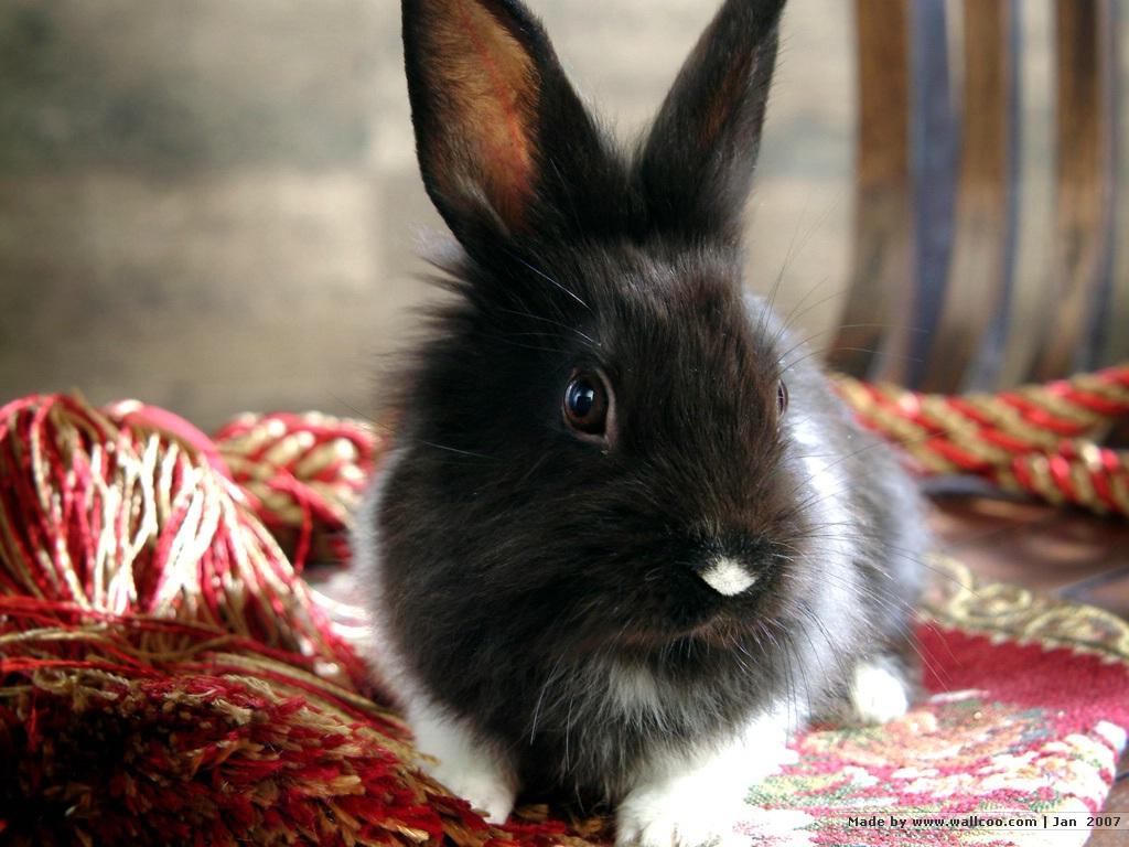 http://3.bp.blogspot.com/-ddWAhun-PZg/TgIbsBqKSbI/AAAAAAAAGv4/0w-Czfk2Bwo/s1600/rabbit-wallpaper-12.jpg