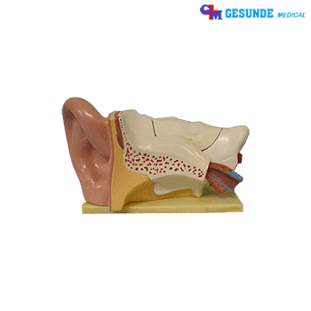 Boneka Torso Anatomi Organ Telinga GM-X303C