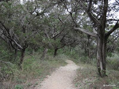 Juniperus Ashei - Cedar - Junípero
