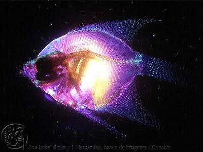 Primera filmación del Calamar Gigante Pez+abisal+abismal+bv