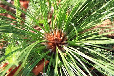 Fascicles of Ponderosa Pine