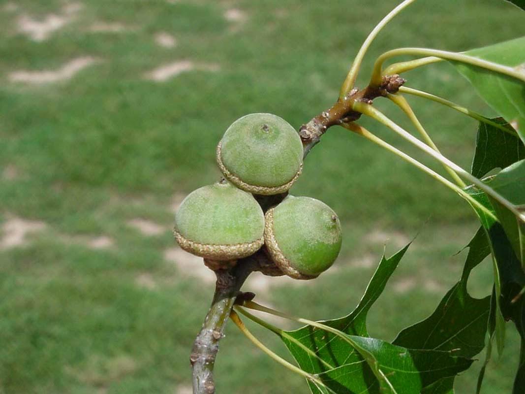 Trees planet quercus palustris pin oak