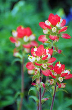 Indian Paintbrush, Castilleja indivisa