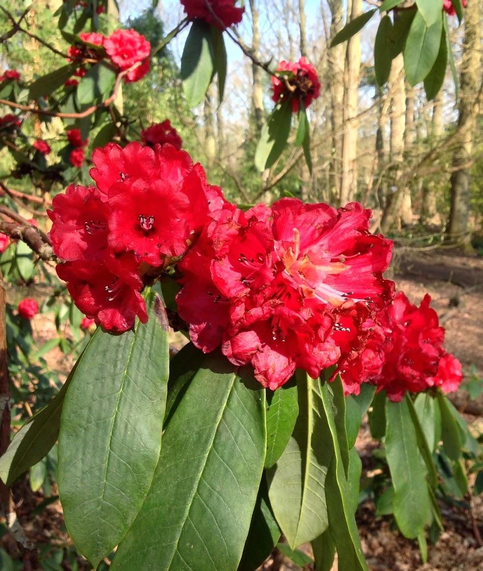 rhododendron mature personals Explore pirjo kangasmuukko's board garden flowers: rhododendrons, azaleas  on pinterest   see more ideas about backyard ideas, evergreen garden and.