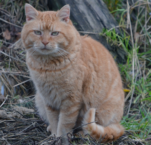 Little Lion cat, orange feral tom cat