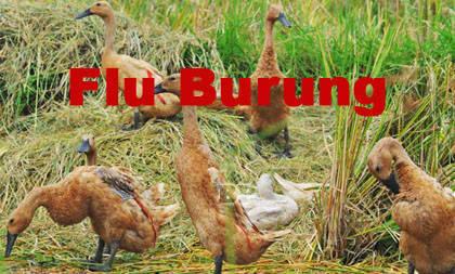 Flu-Burung-Jakarta