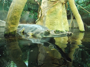 One of the largest Gharials i have seen  in my lifetime.