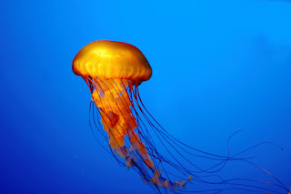 Giant Jellyfish HD Wallpaper