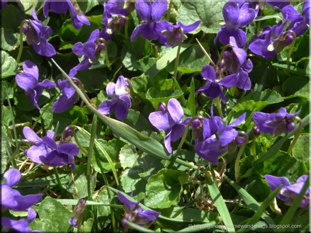 wild violets viola papilionacea