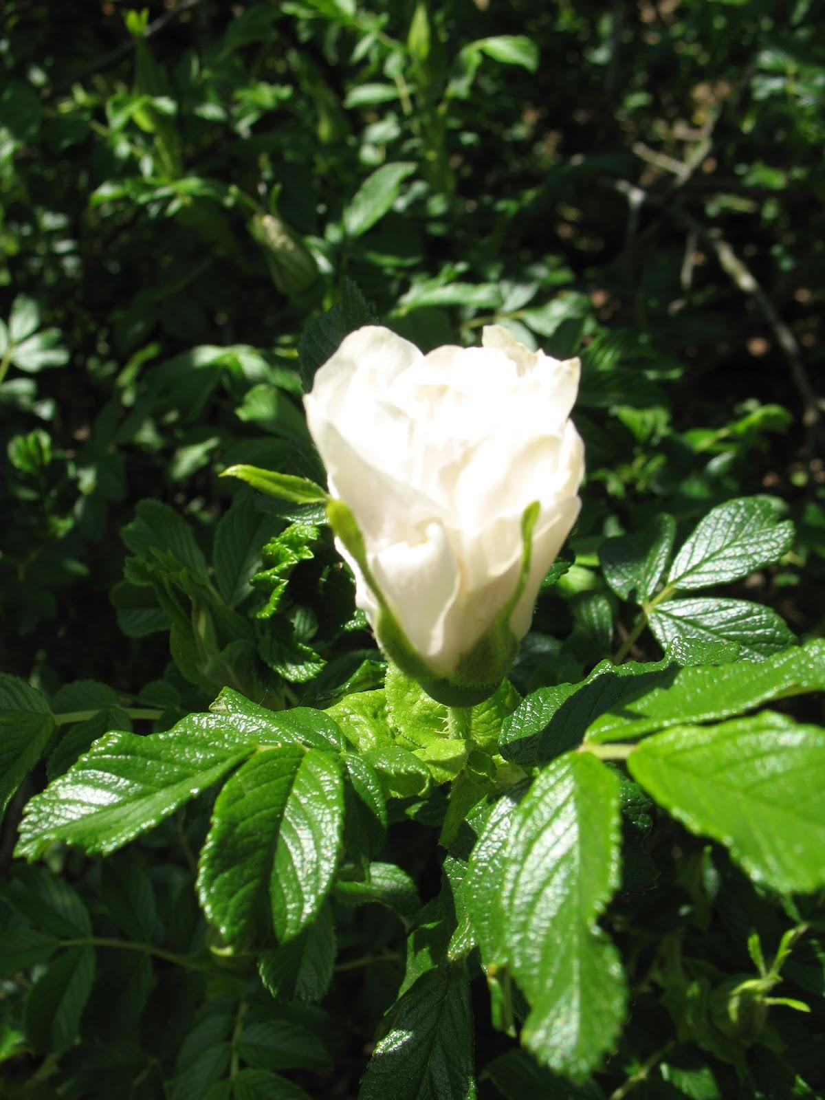 roses du jardin ch neland rosier blanc double de coubert. Black Bedroom Furniture Sets. Home Design Ideas