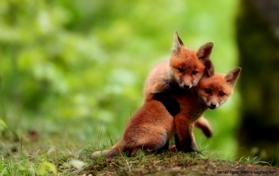 Cute Baby Fox wallpaper  1280x800  12378