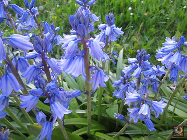 Hyacinthoides hispanica, sin. Endymion (escila española, jacinto de campo)
