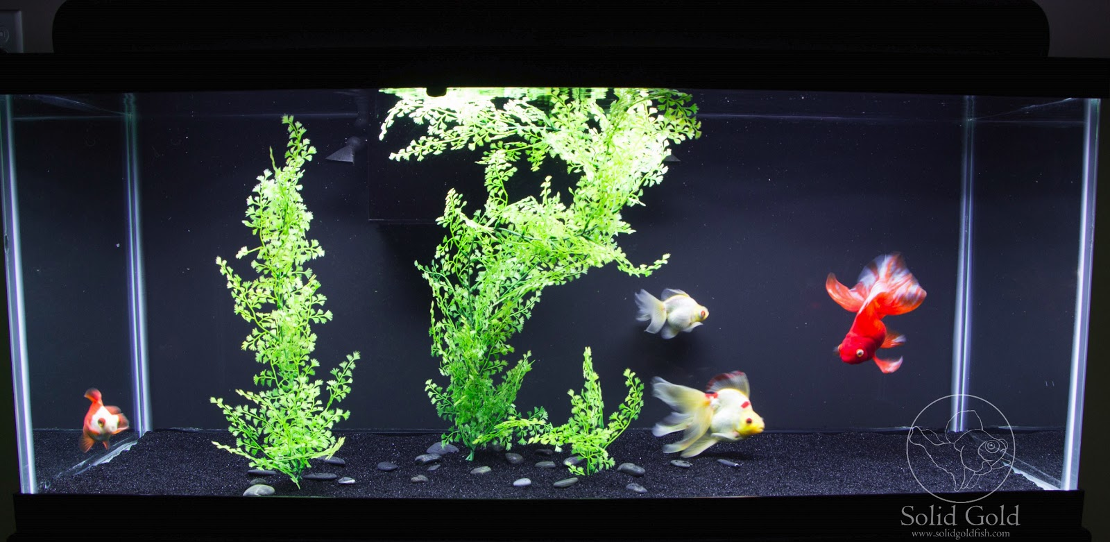 Fish in tank with goldfish - A Simple But Effective Sand Bottom Tank Design