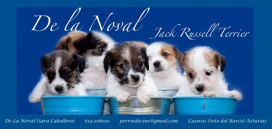 De la Noval Jack Russell Terrier