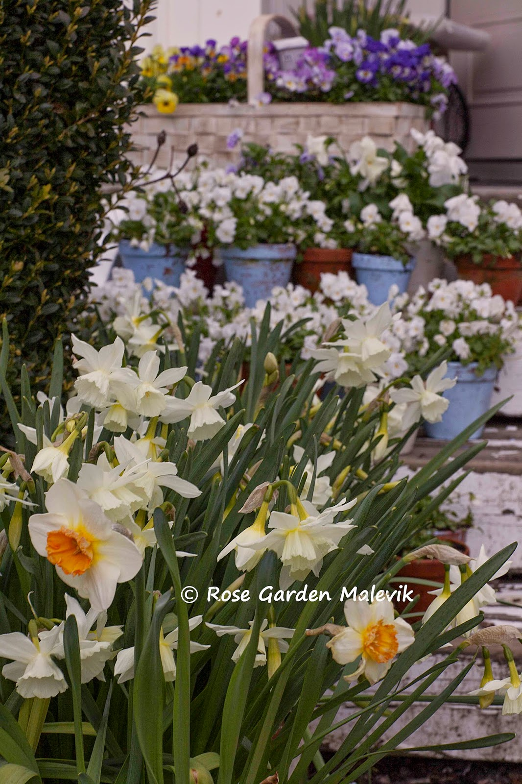 Rose garden malevik: april 2015