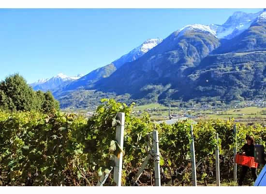 vines of la viggni de crest aosta valley