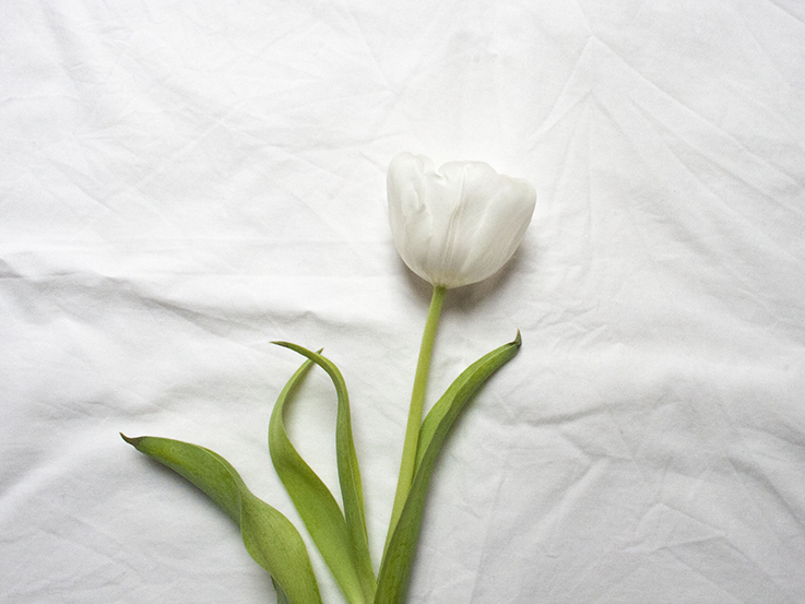 white tulip on white background