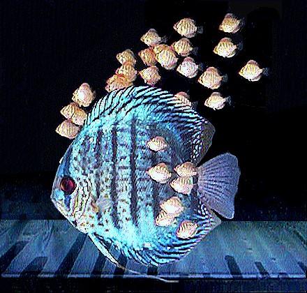 Discus for Discus fish types