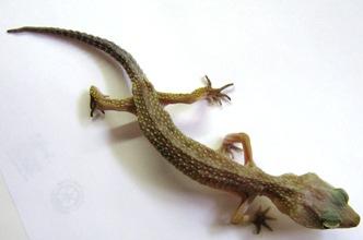 cara merawat, gecko crypto, ekor pensil