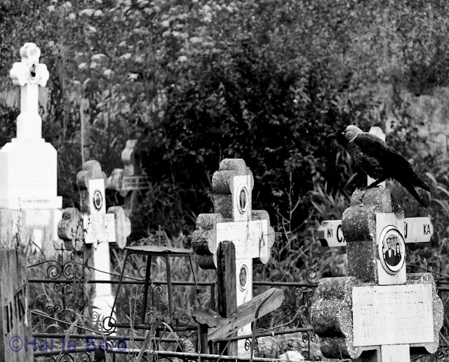 corb pe cruce cimitir gostinari