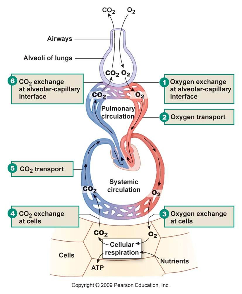 physiology respiratory Anatomy & physiology of the respiratory system the respiratory system is situated in the thorax, and is responsible for gaseous exchange between the circulatory system and the outside world.