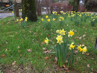 December daffodils at Crewkerne, Somerset