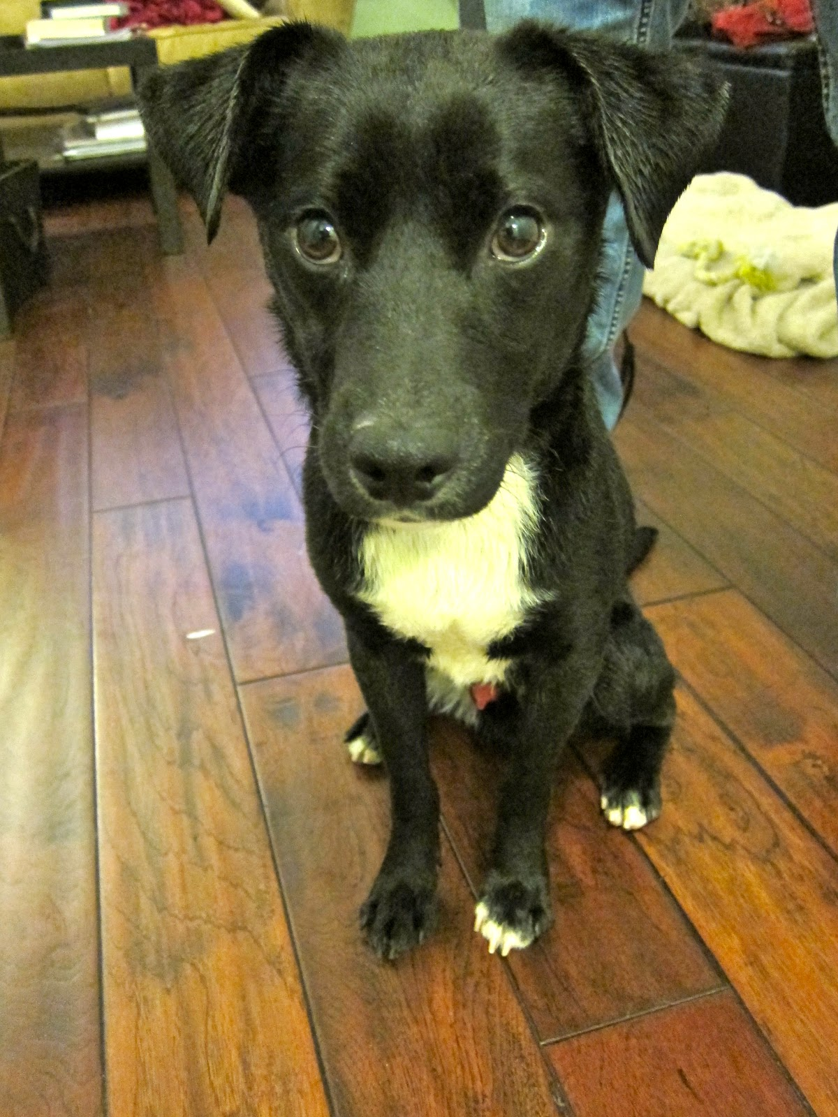 Jack Russell Terrier Black Lab Mix