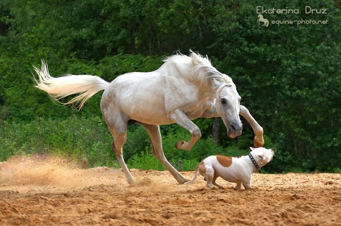 les chevaux.. - Page 14 Cheval+blanc