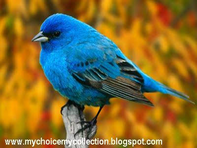 Beautiful Blue Colour Sparrow
