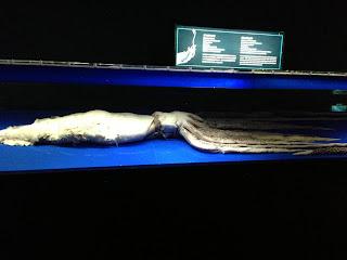 美ら海水族館に展示されていたダイオウイカ