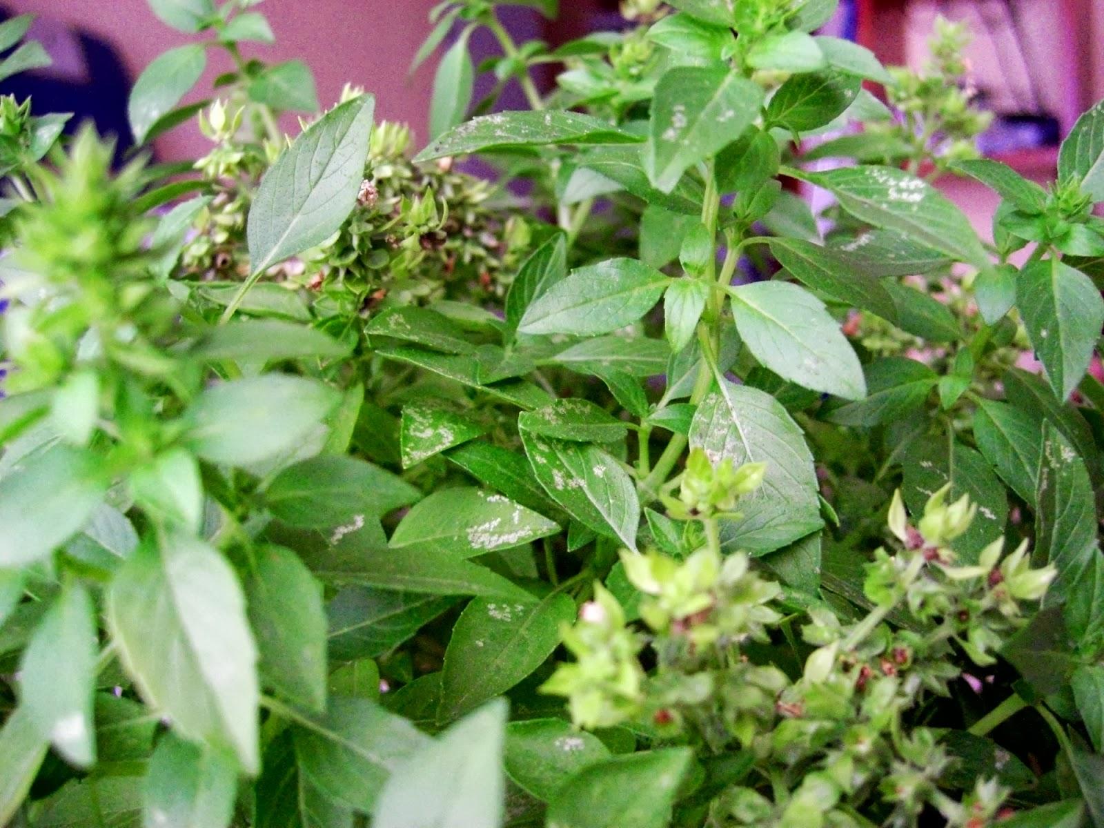 Olodumare hierbas de yemonja for Hierbas ornamentales
