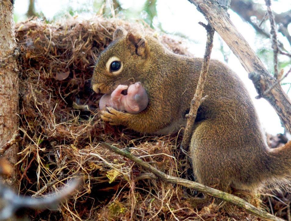 ardillas adoptan bebes de otras razas