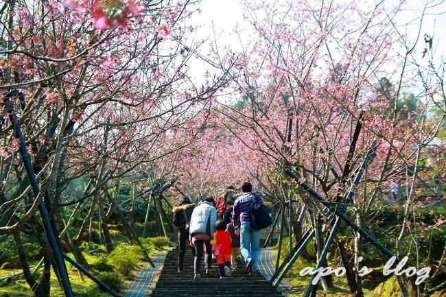 台大河津櫻花季