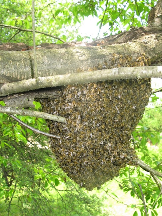 a primary swarm of bees clustered on tree branch